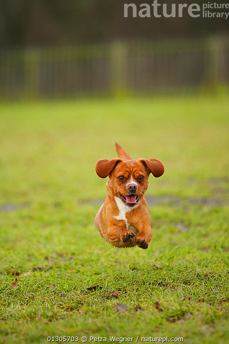 Mixed Breed dog running on grass, towards camera.  ,  anxiety,CATALOGUE2,DOGS,domestic animal,enthusiasm,EXPRESSIONS,facial expression,fear,front view,Grass,HUMOROUS,humour,mid air,mixed breed,Nobody,one animal,open mouth,outdoors,PETS,RUNNING,SITTING,urgency,VERTEBRATES,Worry,Plants,Concepts,Canids  ,  Petra Wegner