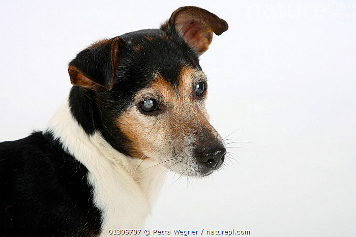 Jack Russell Terrier,  head portrait, tricoloured coat, aged 13 years old. blinded by cataracts.  ,  AGED,CUTOUT,DOGS,ELDERLY,EYES,PETS,PORTRAITS,STUDIO,VERTEBRATES,Canids  ,  Petra Wegner
