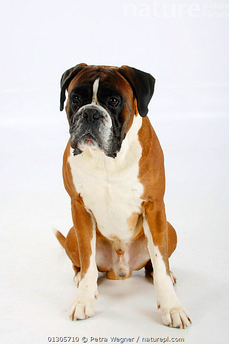 German Boxer, male aged 4 years, sitting.  ,  CUTOUT,DOGS,LARGE DOGS,PETS,PORTRAITS,SITTING,STUDIO,VERTEBRATES,WORKING DOGS,Canids  ,  Petra Wegner