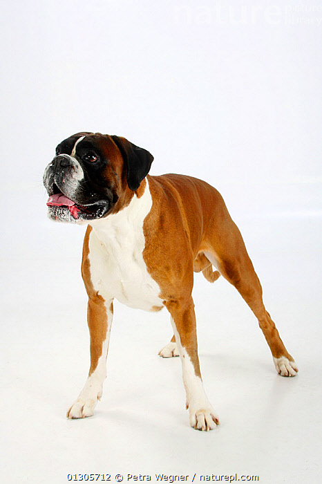German Boxer, male aged 4 years, standing in show-stack posture.  ,  CUTOUT,DOGS,LARGE DOGS,PETS,STANDING,STUDIO,VERTEBRATES,WORKING DOGS,Canids  ,  Petra Wegner