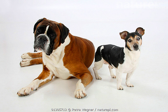 German Boxer lying down with Jack Russell Terrier,  tricoloured and aged 13 years, blinded by cataracts.  ,  CUTOUT,DOGS,ELDERLY,LARGE DOGS,PETS,PORTRAITS,SMALL DOGS,STUDIO,VERTEBRATES,WORKING DOGS,Canids  ,  Petra Wegner