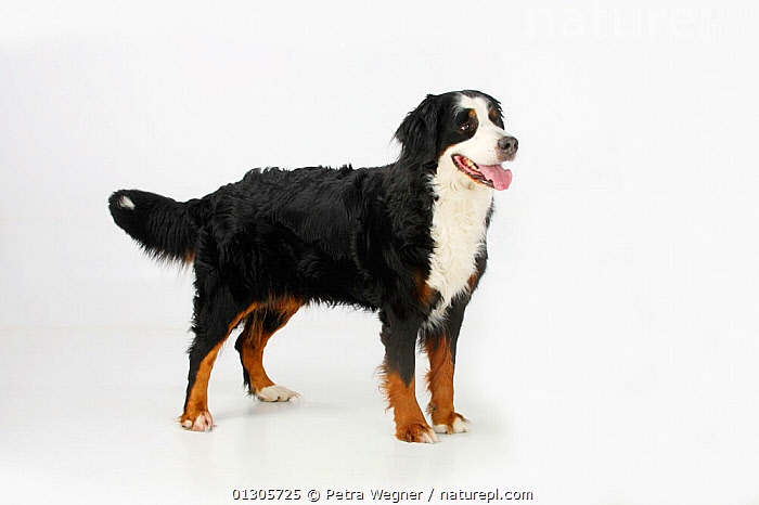 Bernese Mountain Dog, female panting and standing in show-stack posture.  ,  CUTOUT,DOGS,EXTRA LARGE DOGS,FEMALES,PETS,STANDING,STUDIO,VERTEBRATES,WORKING DOGS,Canids  ,  Petra Wegner