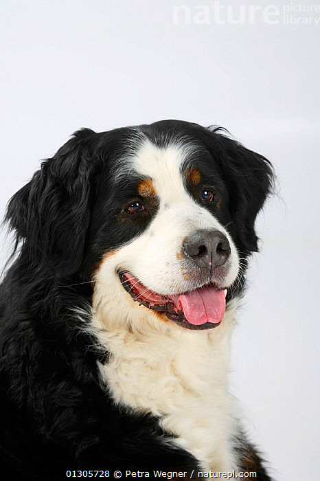 Bernese Mountain Dog, head portrait of female, panting.  ,  CLOSE UPS,CUTOUT,DOGS,EXTRA LARGE DOGS,PETS,PORTRAITS,STUDIO,VERTEBRATES,WORKING DOGS	,Canids  ,  Petra Wegner