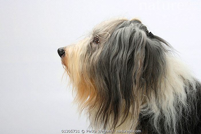 Bearded Collie, head portrait in profile, with coat groomed for show.  ,  CUTOUT,DOGS,LARGE DOGS,PASTORAL DOGS,PETS,PORTRAITS,STUDIO,VERTEBRATES,Canids  ,  Petra Wegner