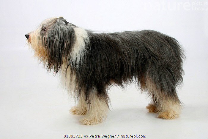 Bearded Collie, with coat groomed for show, standing in show-stack posture.  ,  CUTOUT,DOGS,LARGE DOGS,PASTORAL DOGS,PETS,PROFILE,STANDING,STUDIO,VERTEBRATES,Canids  ,  Petra Wegner