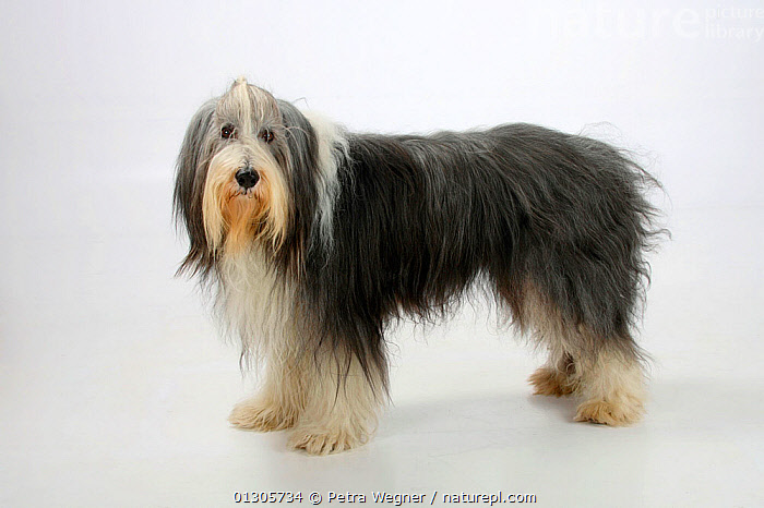 Bearded Collie, with coat groomed for show, standing in show-stack posture.  ,  CUTOUT,DOGS,LARGE DOGS,PASTORAL DOGS,PETS,STANDING,STUDIO,VERTEBRATES,Canids  ,  Petra Wegner