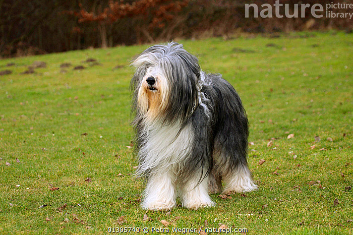 Bearded Collie, with coat groomed for show, standing on grass, with wind blowing coat.  ,  DOGS,LARGE DOGS,OUTDOORS,PASTORAL DOGS,PETS,STANDING,VERTEBRATES,WIND,Weather,Canids  ,  Petra Wegner