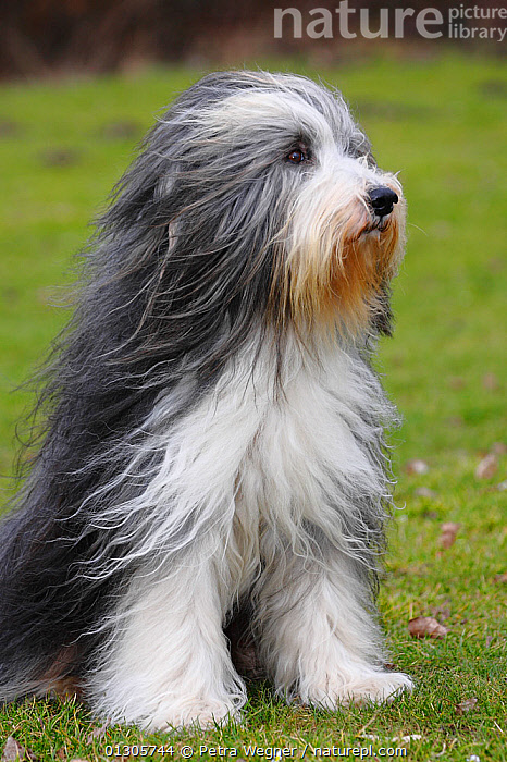Bearded Collie, with coat groomed for show, sitting on grass, and wind blowing coat.  ,  DOGS,LARGE DOGS,OUTDOORS,PASTORAL DOGS,PETS,SITTING,VERTEBRATES,Canids  ,  Petra Wegner