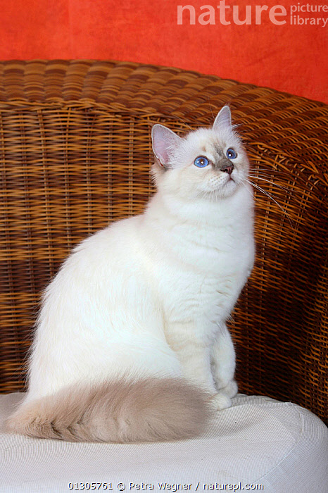 Burman / Sacred Cat of Burma, head portrait of   blue-tabby-point coated domestic kitten aged 5 months, sitting on wicker sofa.  ,  CATS,CHAIRS,INDOORS,JUVENILE,LIVING ROOM,PETS,SITTING,VERTEBRATES  ,  Petra Wegner