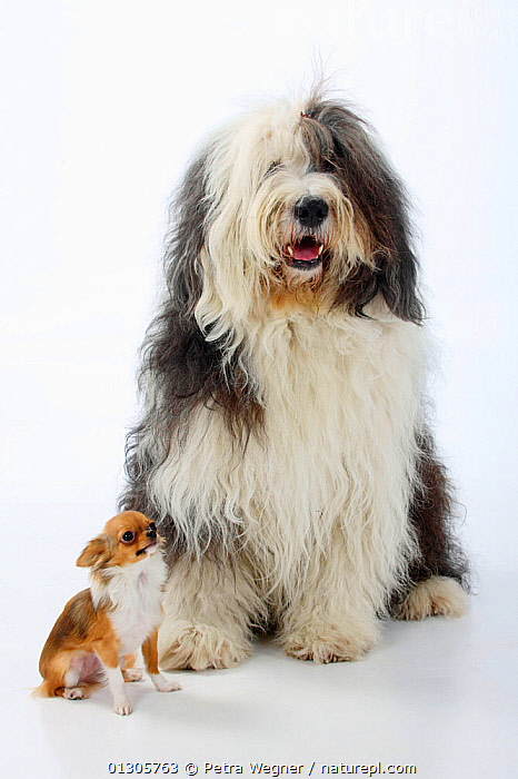 Bobtail / Old English Sheepdog, sitting alongside a  longhaired Chihuahua, tan and white coated.  ,  CUTOUT,DOGS,FRIENDS,HUMOROUS,LARGE DOGS,MIXED BREEDS,PASTORAL DOGS,PETS,PORTRAITS,SCALE,SITTING,STUDIO,TOY DOGS,VERTEBRATES,Concepts,Canids  ,  Petra Wegner