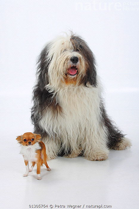 Bobtail / Old English Sheepdog, sitting alongside a  longhaired Chihuahua, tan and white coated., animal marking,bobtail,CATALOGUE2,chihuahua,contrasts,CUTOUT,DOGS,domestic animal,FRIENDS,front view,full length,HUMOROUS,INDOORS,large dogs,longhaired,mixed breeds,mixed species,MIXED SPECIES,Nobody,Old English Sheepdog,pastoral dogs,PETS,PORTRAITS,SCALE,Shaggy,sheepdog,SITTING,SIZE,Studio,studio shot,tan colour,toy dogs,two animals,VERTEBRATES,WHITE,white background,white colour,Concepts,Canids, Petra Wegner