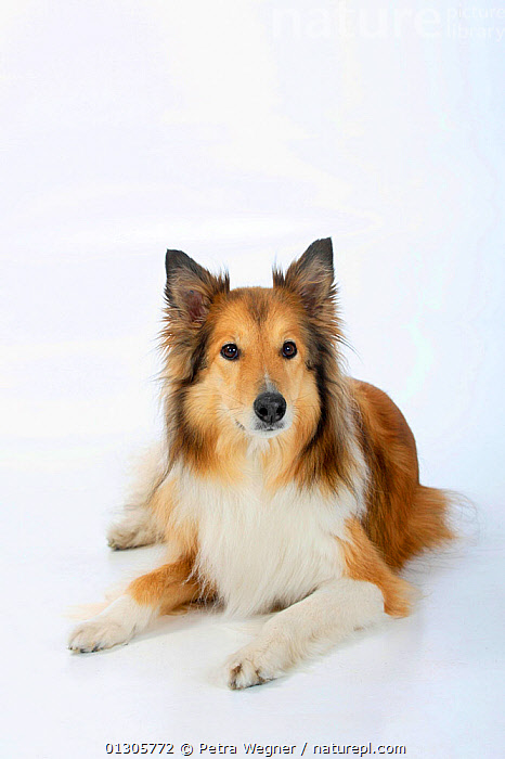 Rough Collie, lying down.  ,  CUTOUT,DOGS,MEDIUM DOGS	,PASTORAL DOGS	,PETS,STUDIO,VERTEBRATES,Canids  ,  Petra Wegner