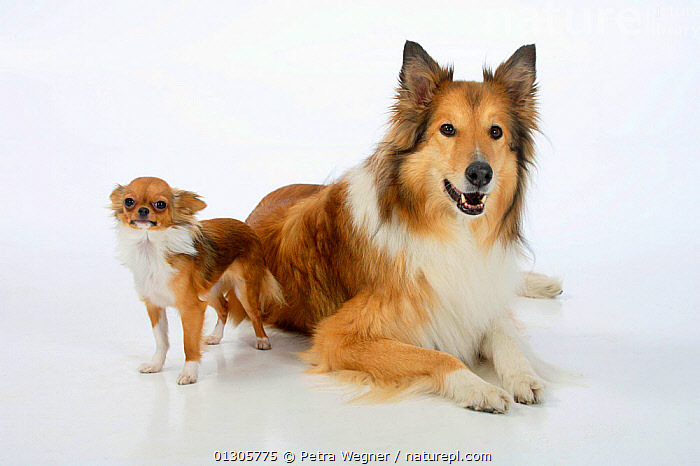 Rough Collie lying down with tan and white coated  Chihuahua, longhaired.  ,  TOY DOGS,CUTOUT,DOGS,FRIENDS,MEDIUM DOGS,PASTORAL DOGS,PETS,SMALL DOGS,STUDIO,VERTEBRATES,Canids  ,  Petra Wegner
