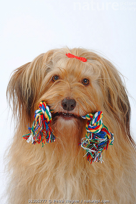 Portrait of a mixed breed dog with bow in her hair, and a toy rope in her mouth.  ,  BOWS,CLOSE UPS,CUTE,CUTOUT,DOGS,FEMALES,MONGREL,MUTT,PETS,PLAY,PORTRAITS,STUDIO,VERTEBRATES,Communication,Canids  ,  Petra Wegner
