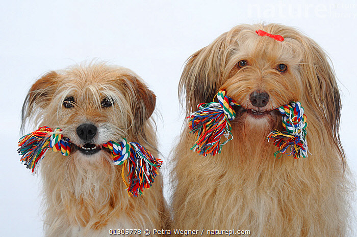 Two mixed breed dogs sittting together, both with toy ropes in their mouths.  ,  CUTE,CUTOUT,DOGS,FEMALES,MALES,MONGREL,MUTT,PETS,PLAY,PORTRAITS,STUDIO,VERTEBRATES,Communication,Canids  ,  Petra Wegner