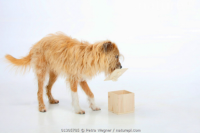 Mixed breed dog, opening wooden box. Sequence 4/5.  ,  BEHAVIOUR,CURIOSITY,CUTOUT,DOGS,INTELLIGENCE,PETS,SEQUENCE,STUDIO,TASK,VERTEBRATES,Canids  ,  Petra Wegner
