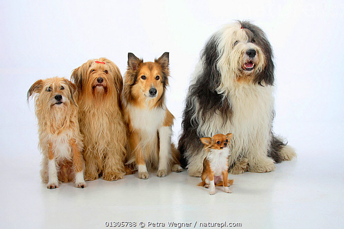 Group portrait of five dogs sitting, from left to rt: two mongrels, Rough Collie, Bobtail (Old English Sheepdog) and longhaired Chihuahua.  ,  CUTOUT,DIMORPHISM,DOGS,FIVE,GROUPS,LARGE DOGS,MEDIUM DOGS,MIXED BREEDS,MONGREL,MUTT,PASTORAL DOGS,PETS,PORTRAITS,SIZE,SMALL DOGS,STUDIO,THREE,TOY DOGS,VERTEBRATES,Canids  ,  Petra Wegner