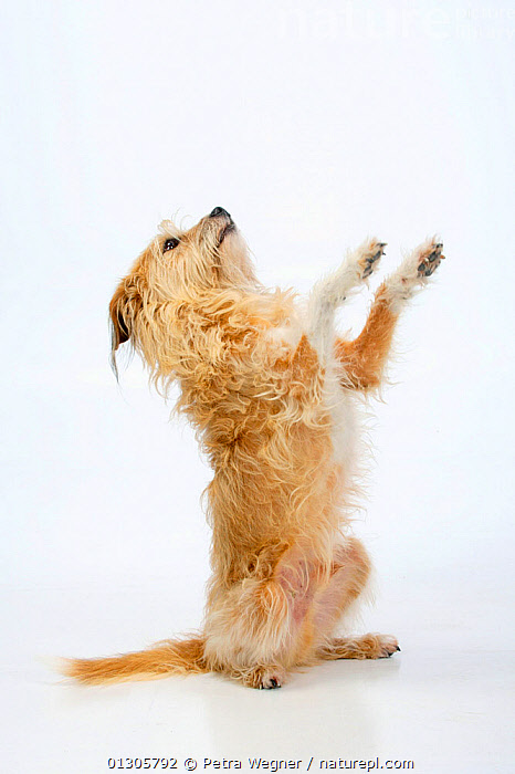Mixed breed dog sitting on hind legs, begging.  ,  CUTOUT,DOGS,HUMOROUS,MONGREL,MUTT,PAWS,PETS,SITTING,STUDIO,VERTEBRATES,VERTICAL,Concepts,Canids  ,  Petra Wegner