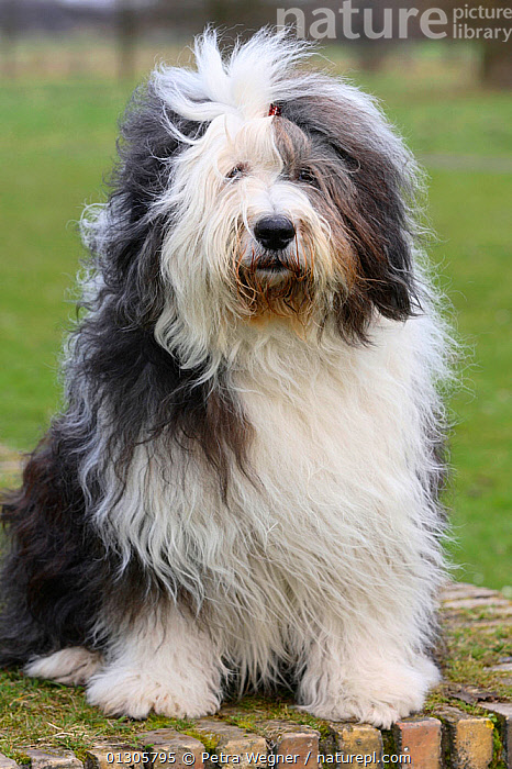 Bobtail / Old English Sheepdog, portrait, sitting on grass.  ,  DOGS,LARGE DOGS,OUTDOORS,PASTORAL DOGS,PETS,PORTRAITS,SITTING,VERTEBRATES,VERTICAL,Canids  ,  Petra Wegner