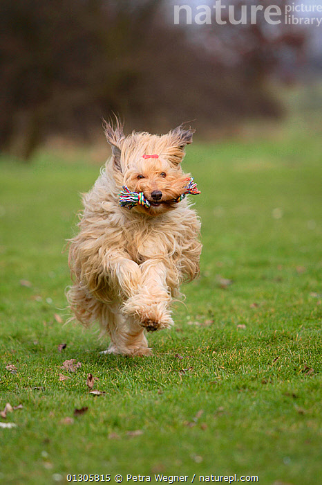 Mixed Breed Dog in field, running towards camera, retrieving toy rope.  ,  COUNTRYSIDE,DOGS,MONGREL,MUTT,OUTDOORS,PETS,RETRIEVE,RUNNING,TRAINING,VERTEBRATES,VERTICAL,WORKING,Canids  ,  Petra Wegner