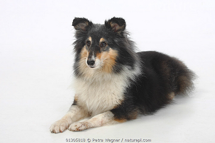 Sheltie (Shetland Sheepdog) tricoloured, lying down, aged 7 years.  ,  CUTOUT,DOGS,MEDIUM DOGS,PASTORAL DOGS	,PETS,STUDIO,VERTEBRATES,Canids  ,  Petra Wegner