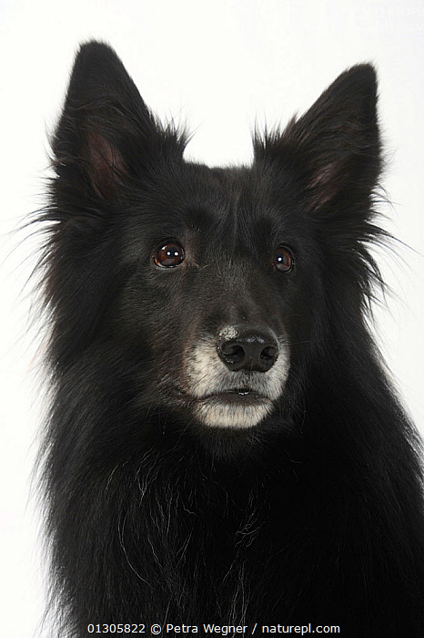 Belgian Shepherd (Groenendael breed) head portrait, aged 4 years.  ,  CLOSE UPS,CUTOUT,DOGS,LARGE DOGS,PASTORAL DOGS	,PETS,PORTRAITS,STUDIO,VERTEBRATES,VERTICAL,Canids  ,  Petra Wegner