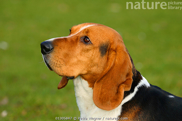 Basset Artesien-Normand (Norman Artesian Basset) head portrait.  ,  DOGS,HOUNDS	,MEDIUM DOGS		,OUTDOORS,PETS,PORTRAITS,SCENTHOUNDS,VERTEBRATES,Canids  ,  Petra Wegner