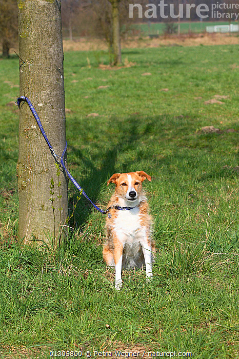 Mixed Breed Dog, on leash tied to tree, abandoned.  ,  COUNTRYSIDE,DOGS,MONGREL,MUTT,PETS,TREES,VERTEBRATES,VERTICAL,PLANTS,Canids  ,  Petra Wegner