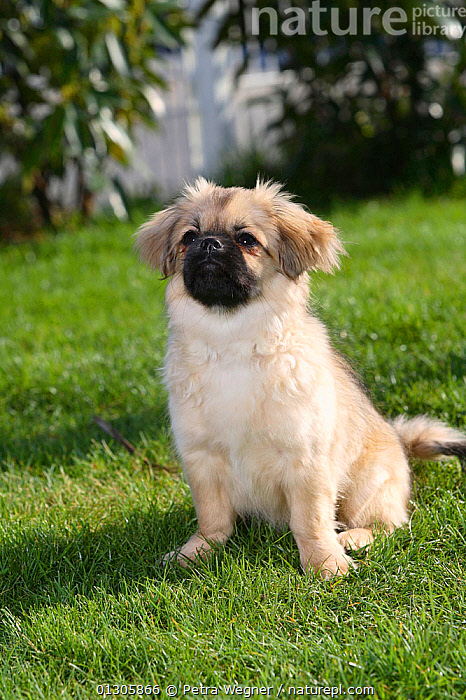 Tibetan Spaniel puppy, portrait sitting no grass, aged 4 months.  ,  BABIES,DOGS,JUVENILE,OUTDOORS,PETS,RUNNING,SITTING,SMALL DOGS,UTILITY DOGS,VERTEBRATES,VERTICAL,Canids  ,  Petra Wegner
