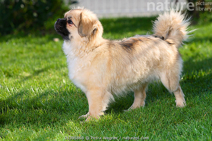 Tibetan Spaniel puppy, standing on grass, aged 4 months.  ,  BABIES,DOGS,JUVENILE,OUTDOORS,PETS,RUNNING,SMALL DOGS,STANDING,UTILITY DOGS,VERTEBRATES,Canids  ,  Petra Wegner
