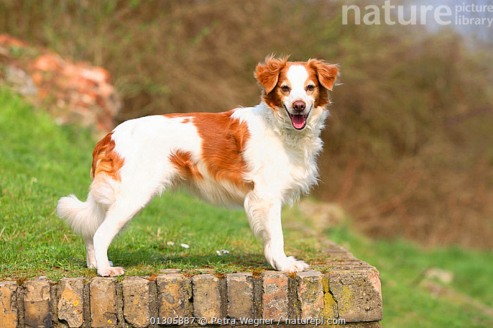 Kromfohrlander, bitch standing on wall, in show-stack posture.  ,  COUNTRYSIDE,DOGS,GUNDOGS	,MEDIUM DOGS,OUTDOORS,PETS,RUNNING,STANDING,VERTEBRATES,Canids  ,  Petra Wegner