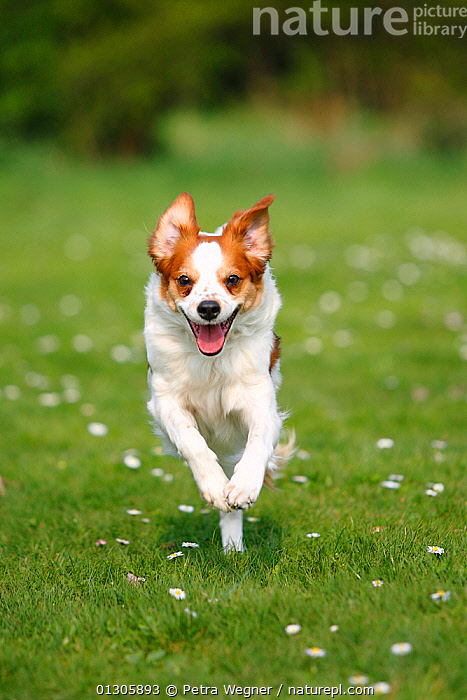 Kromfohrlander running / racing in field towards camera.  ,  CATALOGUE2,COUNTRYSIDE,daisies,DOGS,domestic animal,enthusiasm,Field,front view,Gundogs,Kromfohrlander,medium dogs,Nobody,obedience,one animal,open mouth,outdoors,PETS,RUNNING,SPEED,VERTEBRATES,WHITE,white colour,Canids  ,  Petra Wegner