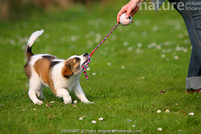 Kromfohrlander puppy, aged 10 weeks, playing tug-of-war with owner.  ,  DOGS,GAMES,GUNDOGS,MEDIUM DOGS,OUTDOORS,PEOPLE,PETS,PLAY,RUNNING,VERTEBRATES,Communication,Canids  ,  Petra Wegner