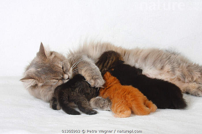British Longhair Cat, blue-cream-silver-tabby-mackerel (Highlander, Lowlander, Britanica) lying down and nursing kittens, aged 3 weeks.  ,  BABIES,CATS,CUTOUT,FAMILIES,FEMALES,MOTHER BABY,PETS,STUDIO,SUCKLING,VERTEBRATES  ,  Petra Wegner