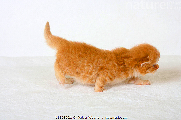 British Longhair ginger coated kitten, aged 3 weeks (Highlander, Lowlander, Britanica) walking.  ,  BABIES,CATS,CUTOUT,EXPLORING,PETS,STUDIO,VERTEBRATES,WALKING  ,  Petra Wegner