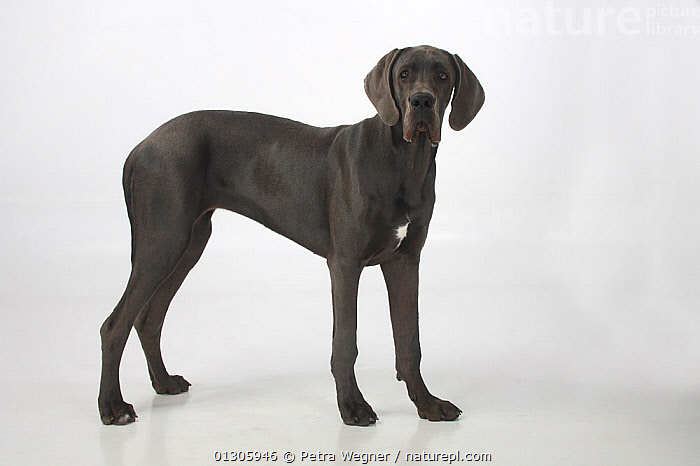 Great Dane bitch, aged 7 months, standing in show-stack posture.  ,  DOGS,EXTRA LARGE DOGS,FEMALES,JUVENILE,PETS,STANDING,VERTEBRATES,WORKING DOGS,Canids  ,  Petra Wegner