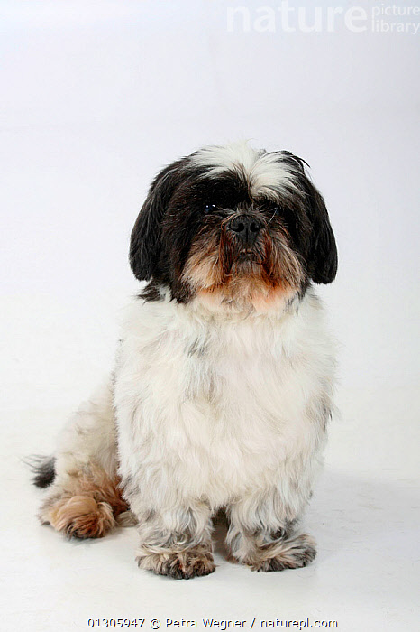 Shih Tzu, aged 10 years, sitting.  ,  CUTOUT,DOGS,ELDERLY,PETS,PORTRAITS,SMALL DOGS,STUDIO,TOY DOGS	,VERTEBRATES,Canids  ,  Petra Wegner