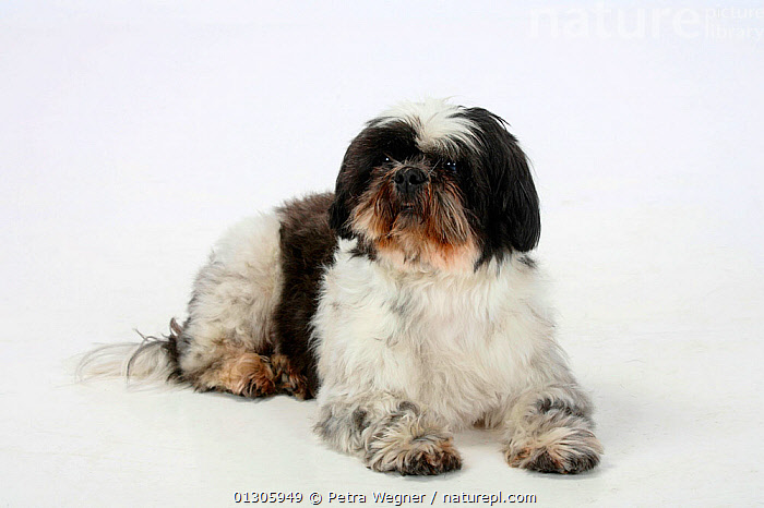 Shih Tzu, aged 10 years, lying down.  ,  CUTOUT,DOGS,ELDERLY,PETS,PORTRAITS,SMALL DOGS,STUDIO,TOY DOGS	,VERTEBRATES,Canids  ,  Petra Wegner