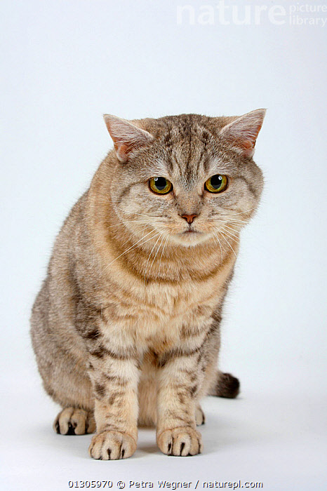 British Shorthair Cat (chocolate-silver-tabby) sitting, and looking intently beyond the camera.  ,  CATS,CUTOUT,PETS,PORTRAITS,SITTING,STARING,STUDIO,VERTEBRATES  ,  Petra Wegner