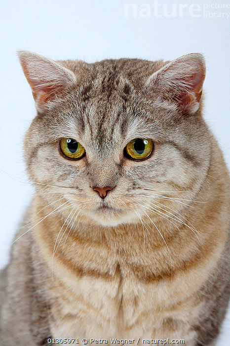 British Shorthair Cat (chocolate-silver-tabby) head portrait, sitting.  ,  CATS,CLOSE UPS,CUTOUT,PETS,PORTRAITS,STUDIO,VERTEBRATES  ,  Petra Wegner