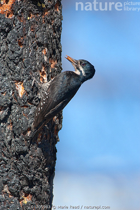Black-backed Woodpecker (Picoides arcticus) female with food for young (beetle larva) in bill, clinging near its nest hole  in burned Jeffrey Pine (Pinus jeffreyi) trunk, Mono Lake Basin, California, USA., BEHAVIOUR,BIRDS,BURNT,CAVITY,COLEOPTERA,FEEDING,FEMALES,FIRE,NESTS,PICIDAE,USA,VERTEBRATES,VERTICAL,WOODPECKERS,North America, Marie Read