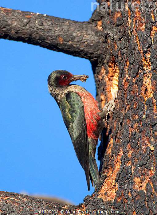 Lewis's Woodpecker (Melanerpes lewis) outside its nest hole in burned Jeffrey Pine (Pinus jeffreyi), with beakful of insects to feed its young, Mono Lake Basin, California, USA.