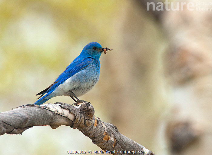 Mountain Bluebird (Sialis currucoides) carrying inspect prey in its bill for young, Mono Lake Basin, California, USA  ,  BEHAVIOUR,BIRDS,BLUE,CHICKS,COLOURFUL,FLYCATCHERS,FORAGING,INSECTS,MALES,PARENTAL,USA,VERTEBRATES,Invertebrates,North America  ,  Marie Read