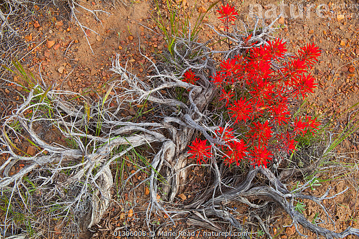 Nature Picture Library Indian Paintbrush Castilleja