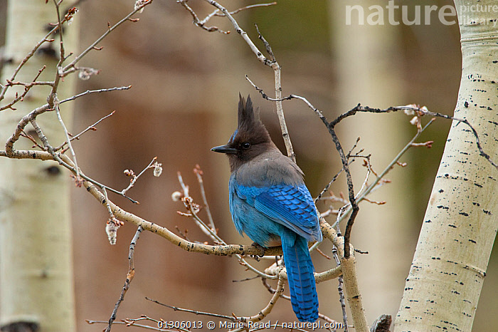 Steller's Jay (Cyanocitta stelleri) perched on branch of Quaking Aspen (Populus tremuloides) in early spring, Mono Lake Basin, California, USA  ,  BLUE,COLOURFUL,PASSERINE,PORTRAITS,QUAKING ASPEN TREE,SONGBIRDS,SPRING,USA,WOODLANDS,North America,Corvids  ,  Marie Read