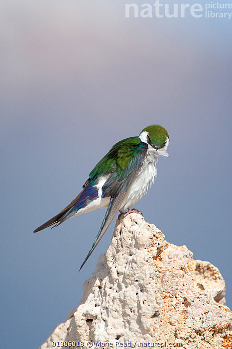 Violet-green Swallow (Tachycineta thalassina) male using its bill to preen its feathers, while perched on tufa, Mono Lake, California, USA  ,  BEHAVIOUR,BIRDS,FEATHERS,FORMATIONS,GEOLOGY,GROOMING,LIMESTONE,MALES,NESTS,PREENING,SWALLOWS,USA,VERTEBRATES,VERTICAL,WINGS,North America  ,  Marie Read