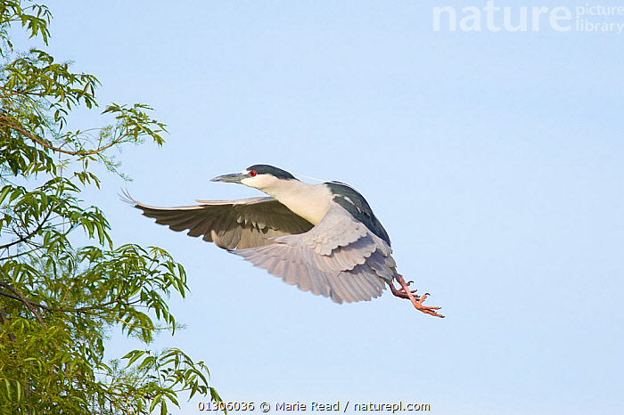 Black-crowned Night-Heron (Nycticorax nycticorax), flying in to land in a tree. California, USA, February.  ,  BIRDS,California,FLYING,HERONS,NORTH AMERICA,USA,VERTEBRATES  ,  Marie Read
