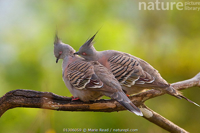 Crested Pigeons (Ocyphaps / Geophaps lophotes) pair, with one preening its mate as part of courtship. Atherton Tableland, Queensland, Australia, October.  ,  AUSTRALASIA,AUSTRALIA,BIRDS,COLUMBIFORMES,COURTSHIP,DOVES,GROOMING,MALE FEMALE PAIR,MATING BEHAVIOUR,two,VERTEBRATES,Pigeons  ,  Marie Read