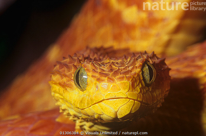 Nature Picture Library - African bush viper (Atheris