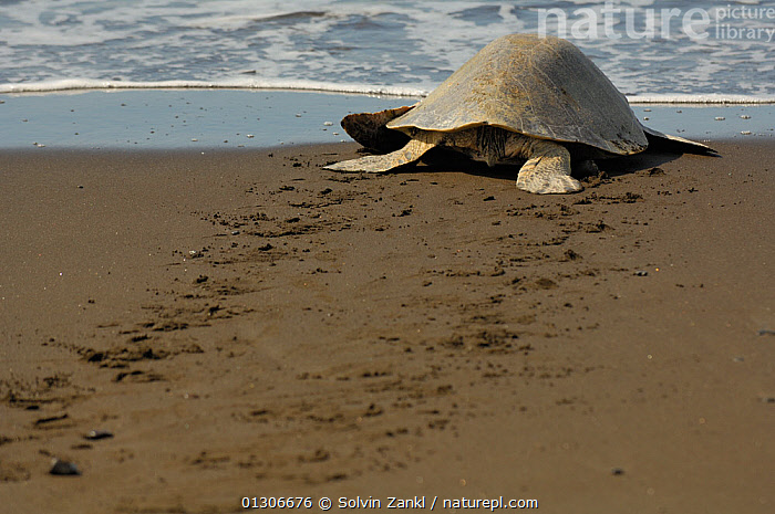 After successfully nesting on the beach an adult female Olive ridley sea turtle (Lepidochelys olivacea) returns to the sea, leaving tracks in the sand, Ostional beach, Costa Rica, November  ,  BEACHES,CENTRAL AMERICA,CHELONIA,COASTS,COSTA RICA,ENDANGERED,FEMALES,MARINE,MOVEMENT,NESTING BEHAVIOUR,REPTILES,SEA TURTLES,TRACKS,TURTLES,VERTEBRATES  ,  Solvin Zankl